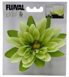 פרח צ'י פלובל