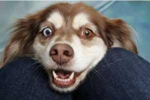 כלב עם עיניים בשני צבעים שונים