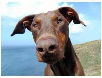 כלב דוברמן