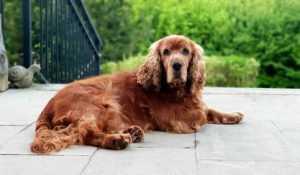 כלב קוקר ספניאל