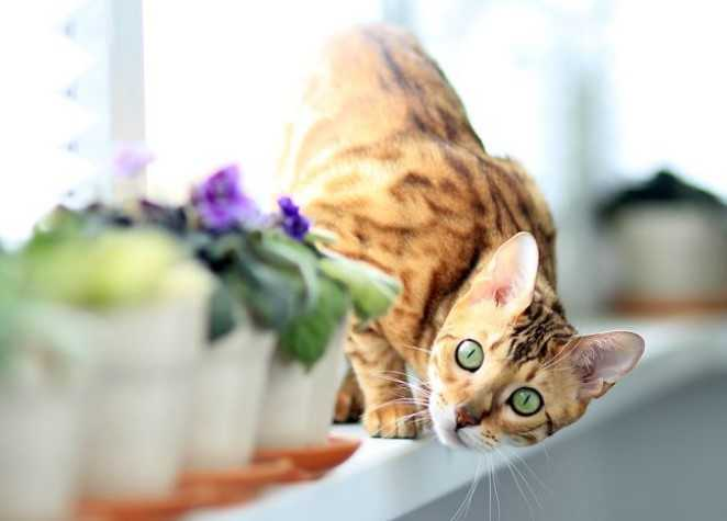 חתול בנגלי