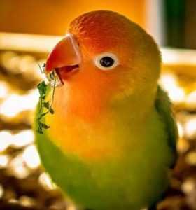 ציפור האהבה
