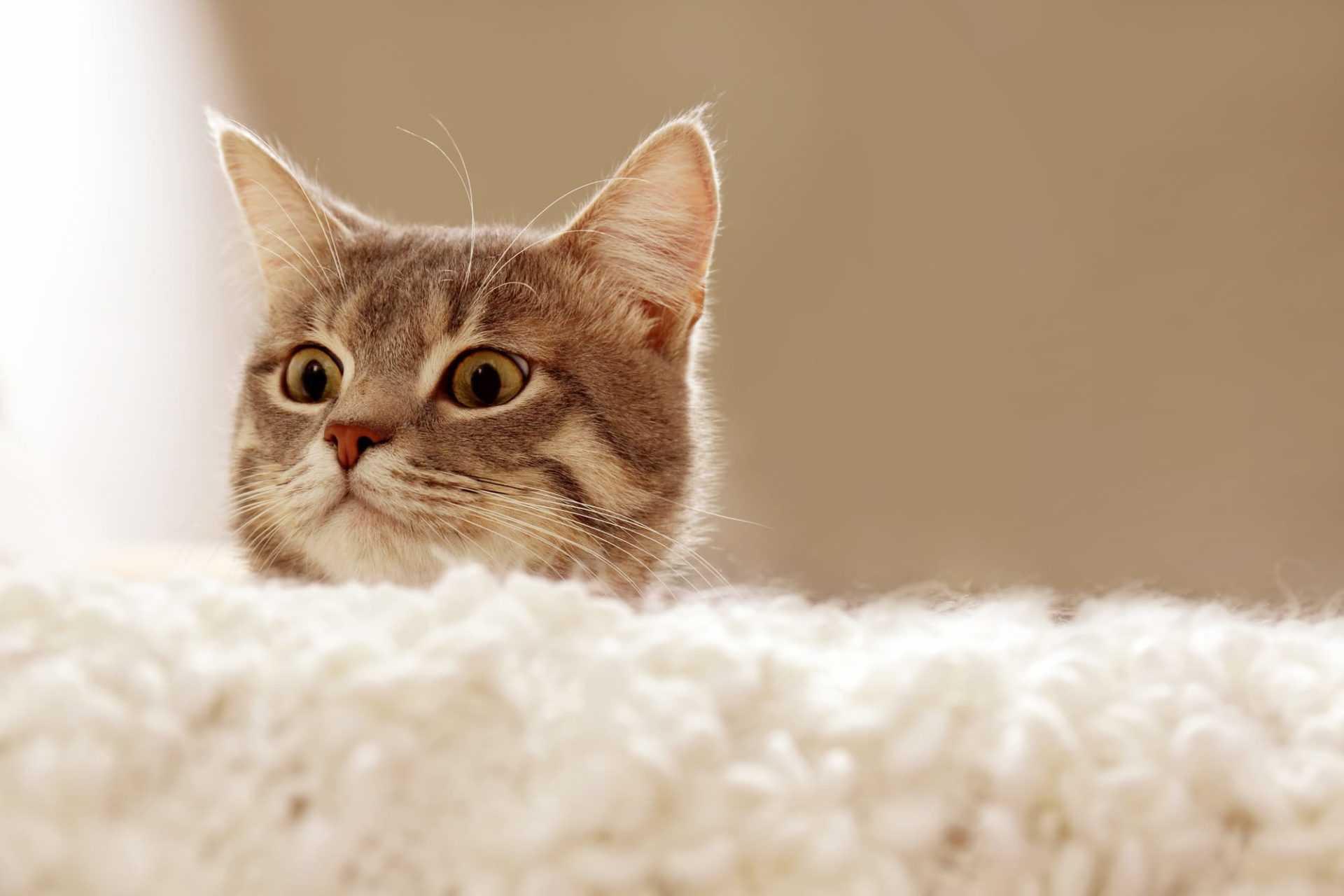 חתול צד