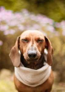 10 מבעיות הבריאות הנפוצות ביותר אצל כלבי תחש