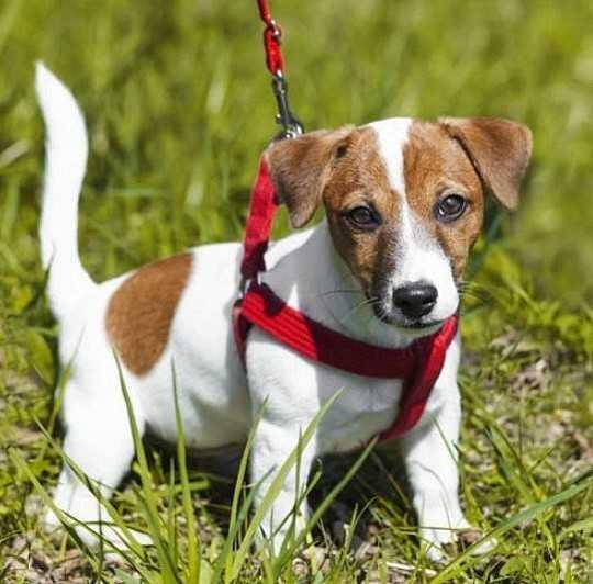 פטסייף איזי ווק רתמת גוף לכלב XS אדום
